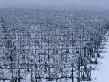 Snow Covered Vineyard in Monteforte Soave Classico  Florence  Italy