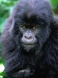 Mountain Gorilla (Gorilla Gorilla Beringei)  Volcans National Park  Ruhengeri  Rwanda