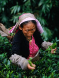 Tea Worker Plucks Tips from Darjeeling Tea Bush at Duncan's Marybong Tea Garden  Darjeeling  India