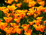 Californian Poppies  USA