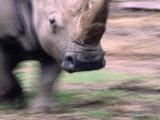 White Rhino (Ceratotherium Simum) at Western Plains Zoo  Dubbo  Australia
