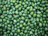 "Harvest of Green ""Sevillana"" Olives  Napa Valley  California  USA"