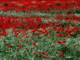 Field of Red Poppies in Chianti Region  Tuscany  Italy