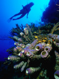 Diver with Purple Tube Sponge off the Coast of Jamaica  Jamaica