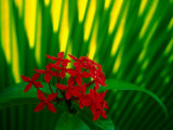 Red Bouvardia  Cook Islands