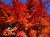 Red Autumn Foliage  Bellinzona  Switzerland