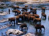 Elephants Bathing in River  Pinnewala Elephant Orphanage  Sri Lanka
