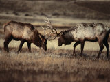 Sparring Bull Elk (Cervus Elaphus)  Yellowstone National Park  Wyoming  USA