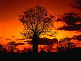 Boab Trees at Sunset  Kununurra Western Australia  Australia