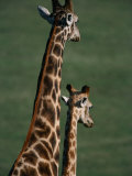 Giraffes  Tala Private Game Reserve  Kwazulu-Natal  South Africa