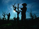 Silhouette of People Pruning Vines  Dry Creek Valley  Sonoma  USA