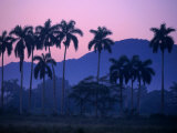 Palm Trees at Yumuri Valley at Sunset  Matanzas  Cuba
