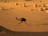 Emu Running Through the Pinnacles  Pinnacles Desert  Australia
