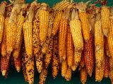 Drying Seed Corn Francisco Morazan  Honduras