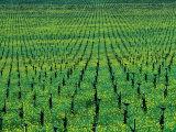 Vineyard with Mustard Flowers Near Yountville  Napa Valley  California  USA