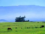 Horses Grazing Beneath the Towering Mauna Kea on Pastoral Parker Ranch at Waimea  Hawaii  USA