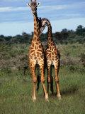 Male Giraffes (Giraffa Camelopardalis)  Ngorongoro Conservation Area  Arusha  Tanzania