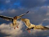 Seabirds Flying Around the Bainbridge Island Ferry in Puget Sound  Seattle  Washington  USA