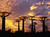 Giant Baobabs (Adansonia Grandidieri)  Toliara  Madagascar