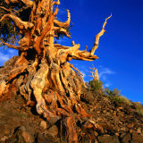 Gnarled Roots and Trunk of Bristlecone Pine  White Mountains National Park  USA