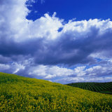 Clouds Over Yellow Mustard Crops and Vineyard  Napa Valley  USA