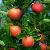 Ripe Apples on a Tree at the Apple Farm  Anderson Valley  Mendocino  California  USA