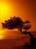 Lone Divi Divi Tree at Sunset  Aruba