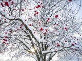 Mountain Ash Tree and Berries in Freshly Fallen Snow in Whitefish  Montana  USA