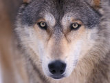 Gray Wolf in the Foothills of the Takshanuk Mountains  Alaska  USA