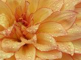 Dahlia Flower with Petals Radiating Outward, Sammamish, Washington, USA Papier Photo par Darrell Gulin