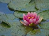 Water Lily in the Japanese Gardens  Washington Arboretum  Seattle  Washington  USA