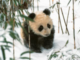 Panda Cub on Snow  Wolong  Sichuan  China