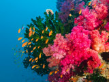 Multicolor Soft Corals, Coral Reef, Bligh Water Area, Viti Levu, Fiji Islands, South Pacific Papier Photo par Michele Westmorland