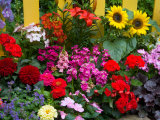 Yellow Picket Fence with Garden of Sunflowers  Delphnium  Zinnia  and Geranium