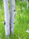 Aspen Trees and Wildflowers  Lake City  Colorado  USA