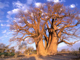 Baobab  Okavango Delta  Botswana