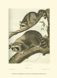 Racoon Reproduction d'art par John James Audubon
