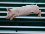Beauty a 20-Week-Old Pig Flies Through the Air