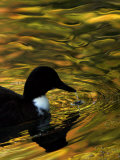 Fall Colors are Reflected in a Pond as a Duck Swims in Milan  Italy  Friday  November 3  2006