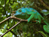 A Chameleon Sits on a Branch of a Tree in Madagascar's Mantadia National Park Sunday June 18  2006