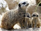 Jenny the Meerkat with Two of Her New Babies at London Zoo  June 2005