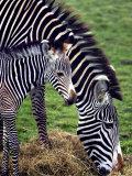 Baby Zebra with Mum Edinburgh Zoo  December 2001