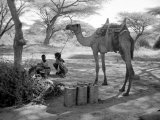 Local Men of Somaliland with Their Camels  1935