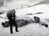 Man with Sheep on Snowy Hills  1943