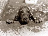 Spaniel Dog Takes a Dip  June 1986