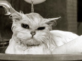 Bella the Persian Cat Gets a Soaking to Prepare Her for Shows  April 1985