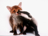 A Tale of Two Cubs  She's Always Badgering That Fox for a Kiss