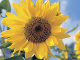 A Single Yellow Sunflower Blossom