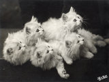 Group of Five Adorable White Fluffy Chinchilla Kittens Lying in a Heap Looking up at Their Owner