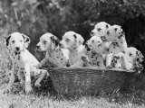 Six of the Puppies are Crowded in the Basket the Seventh is the Clever One as He Sits Outside It